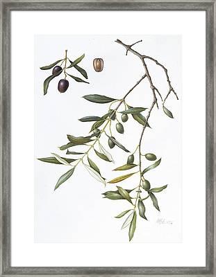 Olive Framed Print by Margaret Ann Eden