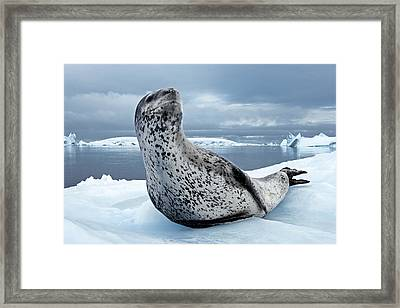On Alert, An Adult Leopard Seal Scans Framed Print by Paul Nicklen