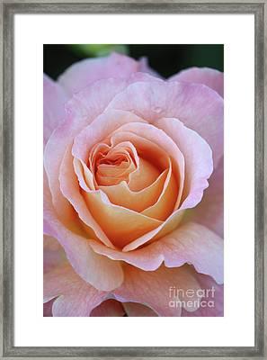 One Beautiful Pink Rose Framed Print by Carol Groenen