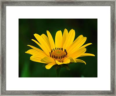 One Daisy Framed Print by Juergen Roth
