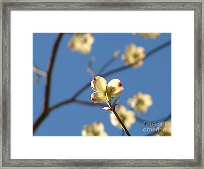 One Dogwood Blooms Framed Print by Laura Brightwood