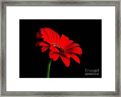 One Red Daisy Framed Print by Marsha Heiken