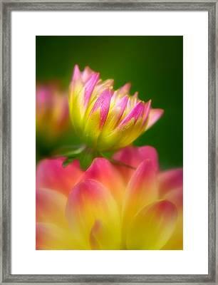 Opening Dahlia Framed Print by Carolyn Derstine