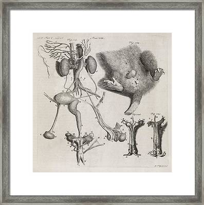 Opposum Anatomy, 18th Century Framed Print by Middle Temple Library
