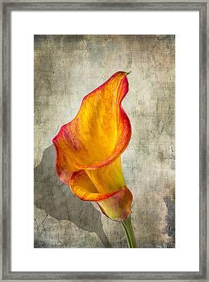 Orange Calla Lily Framed Print by Garry Gay
