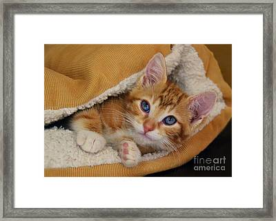Orange Kitten Tucked Into Bed Framed Print by Catherine Sherman