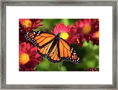 Orange Drift Monarch Butterfly Framed Print by Christina Rollo
