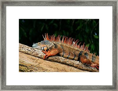 Orange Iguana Close Up Framed Print by Robert Wilder Jr