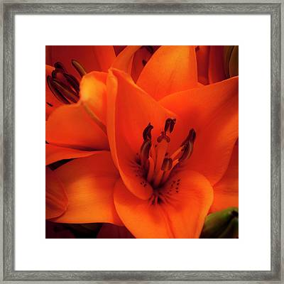Orange Lily Framed Print by David Patterson