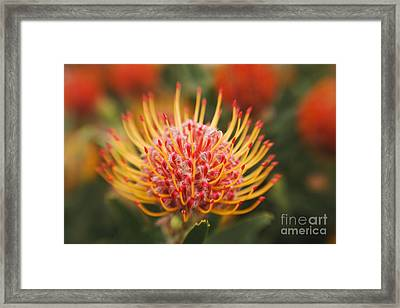 Orange Pin Cushion Protea Framed Print by Ron Dahlquist - Printscapes