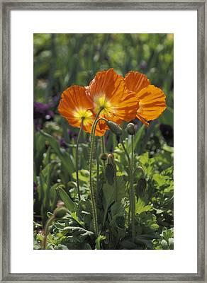 Orange Poppy Flower In The Dallas Framed Print by Richard Nowitz