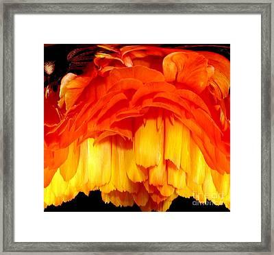 Orange Ranunculus Polar Coordinate Framed Print by Rose Santuci-Sofranko