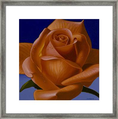 Orange Rose With Blue Background Framed Print by Tony Chimento