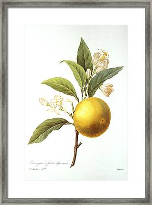 Orange Tree Framed Print by Granger