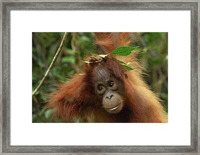 Orangutan Pongo Pygmaeus Baby, Camp Framed Print by Thomas Marent