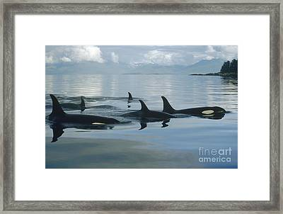 Orca Pod Johnstone Strait Canada Framed Print by Flip Nicklin