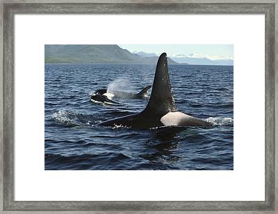 Orca Pod Surfacing Johnstone Strait Framed Print by Flip Nicklin