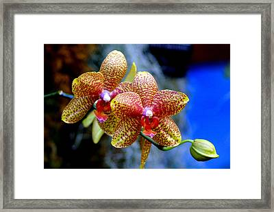 Orchid 17 Framed Print by Marty Koch