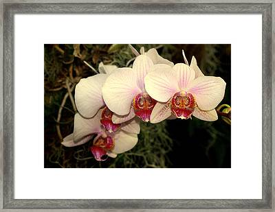 Orchid 19 Framed Print by Marty Koch