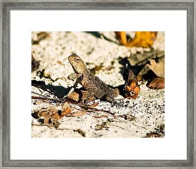 Oriental Garden Lizard A Dragon In The Maldives Framed Print by Chris Smith