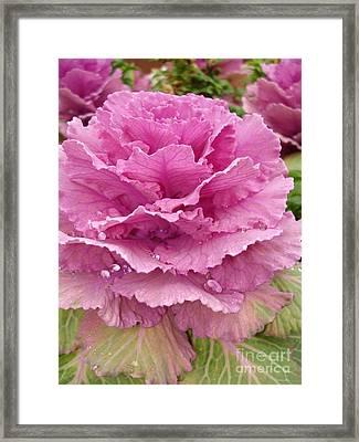 Ornamental Cabbage Framed Print by Carol Groenen