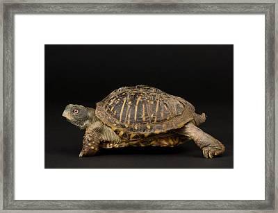 Ornate Box Turtles Terrapene Ornata Framed Print by Joel Sartore