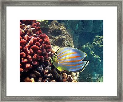 Ornate Butterflyfish On The Reef Framed Print by Bette Phelan