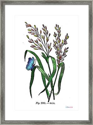 Oryza Sativa Framed Print by Ziva