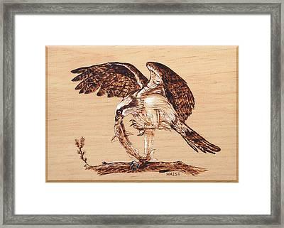 Osprey 3 Framed Print by Ron Haist