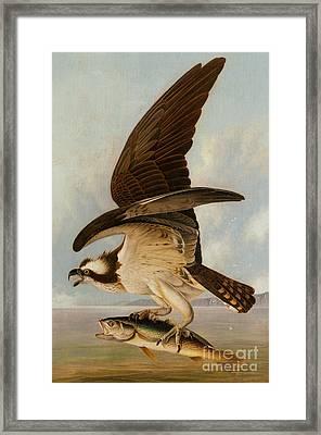 Osprey And Weakfish Framed Print by John James Audubon