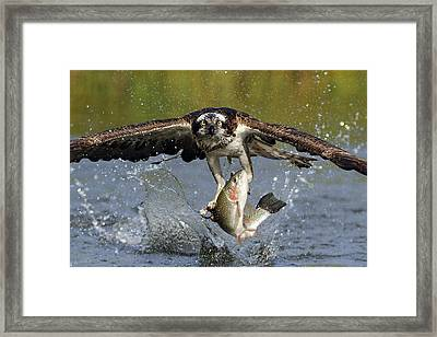 Osprey Catching Trout Framed Print by Scott  Linstead