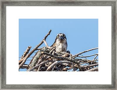 Osprey Eyes Framed Print by Paul Freidlund