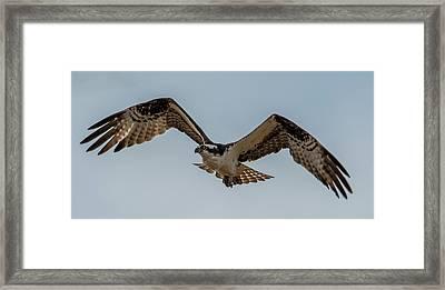 Osprey Flying Framed Print by Paul Freidlund