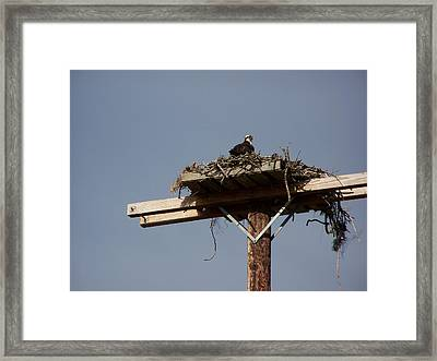 Osprey Nest Framed Print by Laurie Kidd