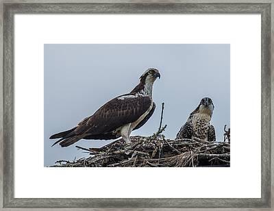 Osprey On A Nest Framed Print by Paul Freidlund