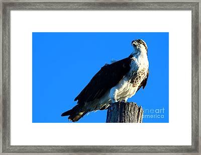 Osprey On A Pole Framed Print by Christiane Schulze Art And Photography