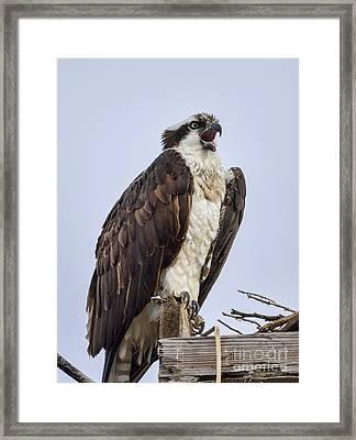 Osprey On Its Perch Framed Print by Eddie Yerkish