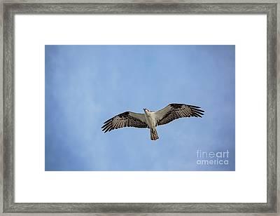 Osprey Framed Print by Scott Pellegrin