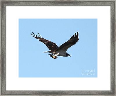 Osprey With Fish Framed Print by Carol Groenen
