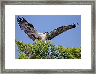 Osprey With Wide-open Wings Framed Print by Andres Leon