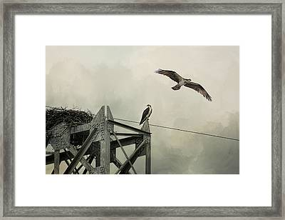 Ospreys At Pickwick Framed Print by Jai Johnson
