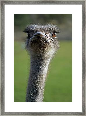 Ostrich What A Face Framed Print by Laura Mountainspring