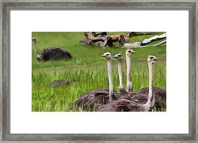 Ostriches In Africa Framed Print by Dan Sproul