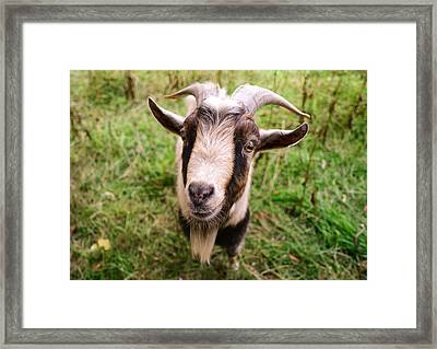 Oxford Goat Framed Print by Alex Blondeau