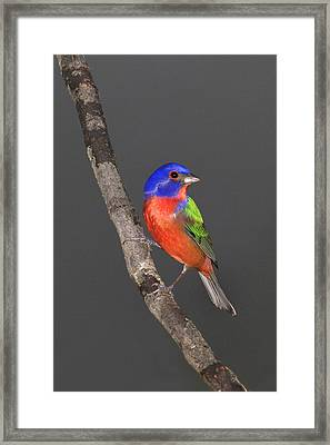 Painted Bunting Framed Print by John Absher
