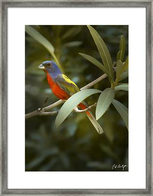 Painted Bunting Male Framed Print by Phill Doherty