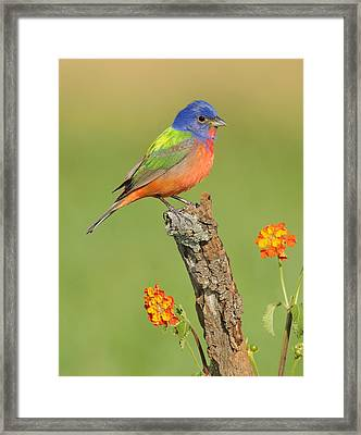 Painted Bunting Framed Print by Scott  Linstead