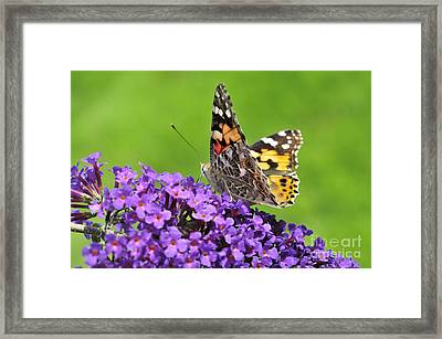 Painted Lady Butterfly On A Buddleia Framed Print by Andy Smy