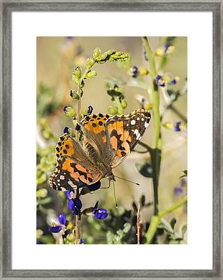 Painted Lady In The Desert Framed Print by Loree Johnson
