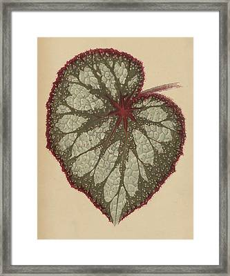 Painted Leaf Begonia Framed Print by English School
